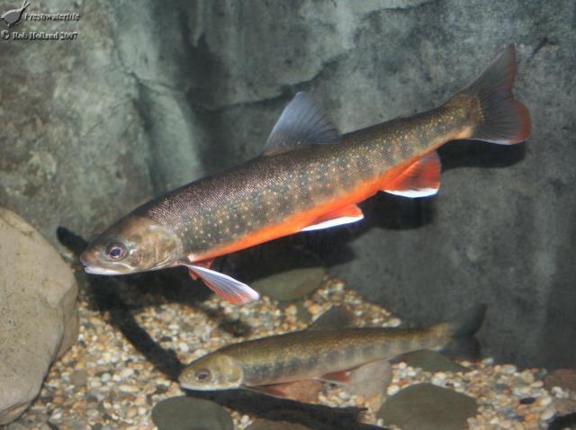 Arctic charr for Arctic char fish