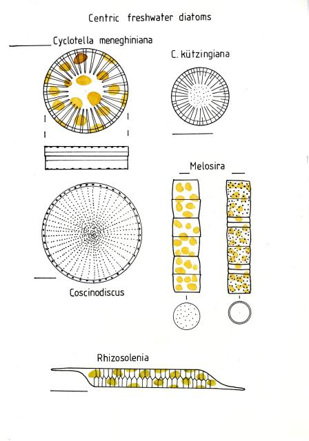 diatom diagram - photo #21